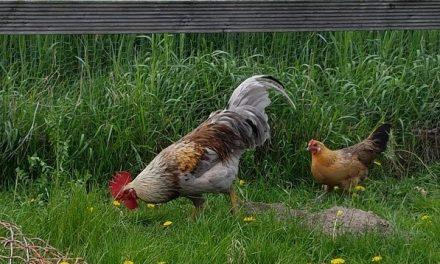 Hähne suchen Hühner