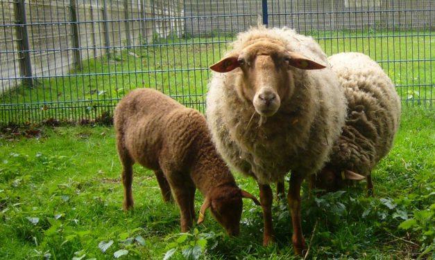 Schafe abzugeben