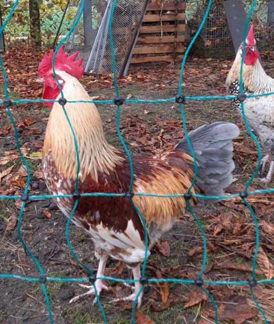 Hahn sucht Hühner