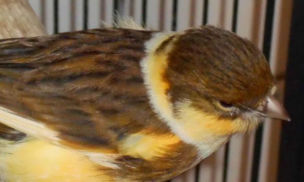 4 Kanarienvögel
