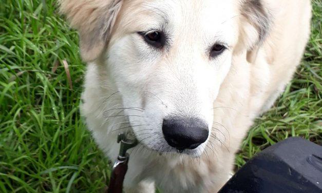 Herdenschutzhunde – Junghunde abzugeben