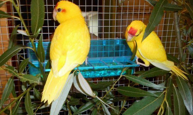 Jungvögel suchen ein Zuhause (reserviert)