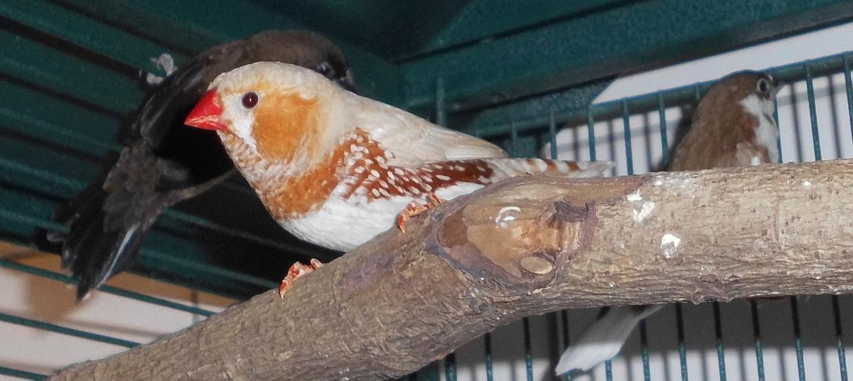 Ziervögel (reserviert)